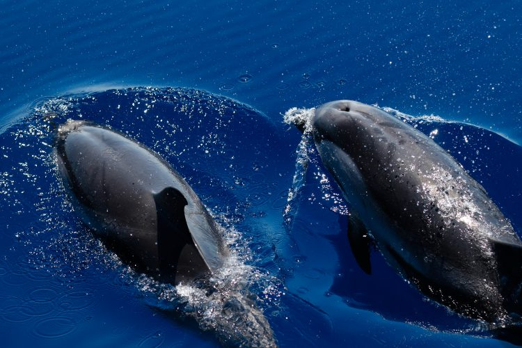 Two striped dolphins breaking through the water in Italy