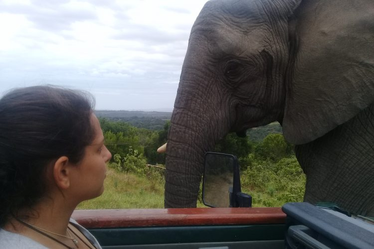 Elephant very close to volunteer and vehicle
