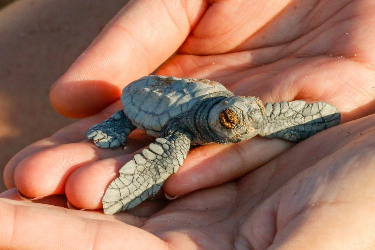 Volunteer holding baby sea turtle