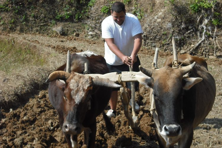 Volunteer with buffalo in Nepal