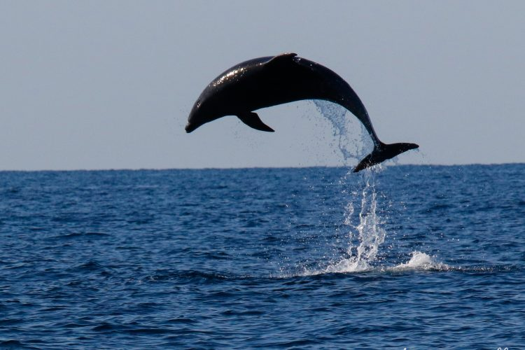 Volunteers observe dolphins jumping