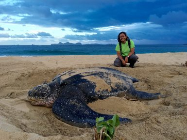 Volunteer with female nesting leatherback sea turtle