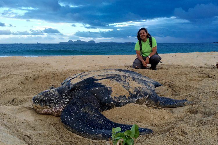 Volunteer with female nesting leatherback sea turtle