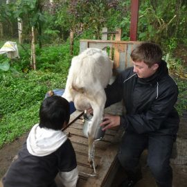 Volunteer with goat Ecuador cloud forest