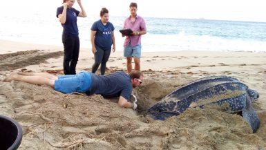 Volunteers on beach with leatherback sea turtle