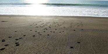 Watching turtle babies crawl out to sea