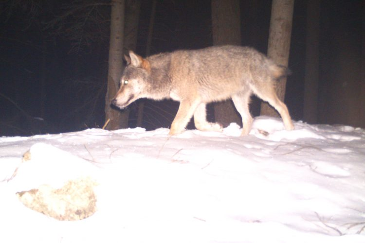 Wolf camera trap photo in Slovakia