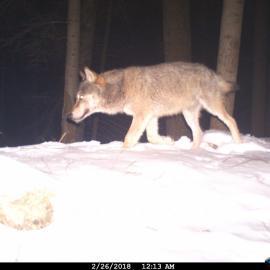 Wolf camera trap photo in Slovakia