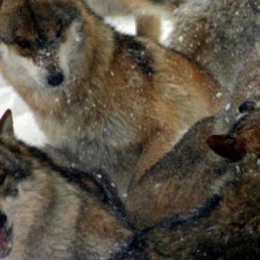 Wolves in Slovakia