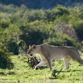 Lioness game reserve in South Africa