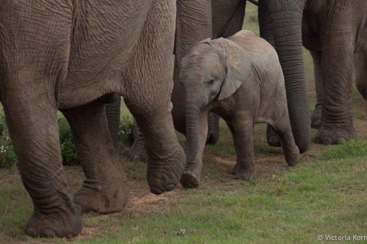 Baby elephant walks with herd in Africa