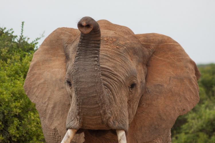 Bull elephant male with trunk up