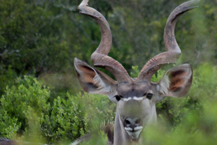 Adult male kudu in South Africa