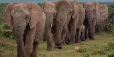 Elephant herd in a procession in South Africa