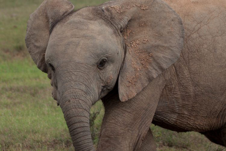 Young elephant male in Africa