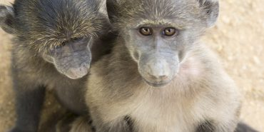 Baboons at the Wildlife Sanctuary in Namibia