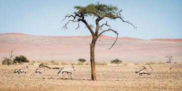 Oryx running across the Namib Desert in Kanaan