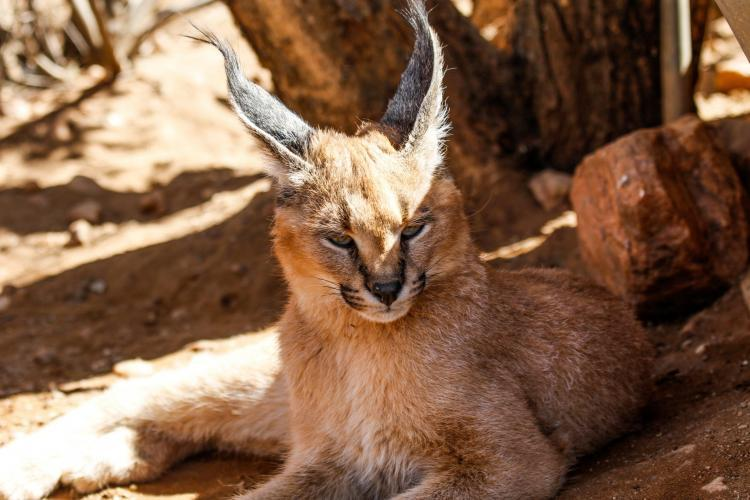 Volunteering with caracal conservation in Namibia