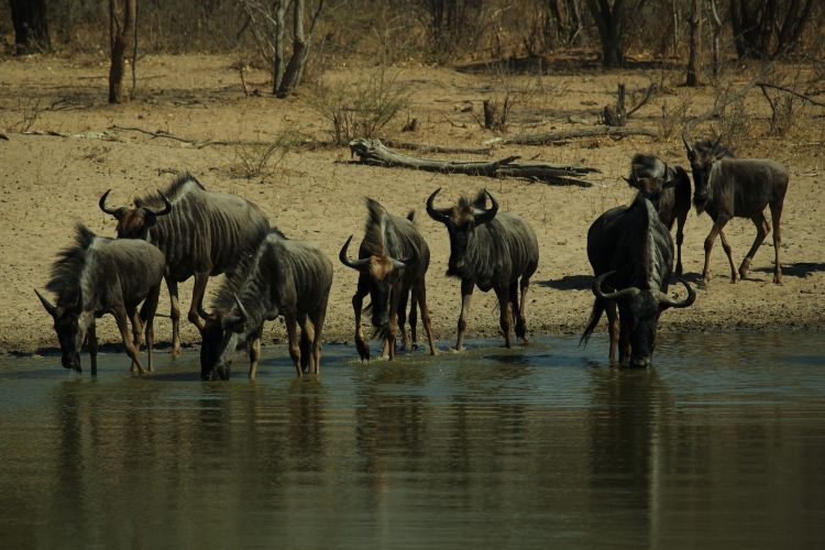 Blue wildebeest drinking from a waterhole in Namibia