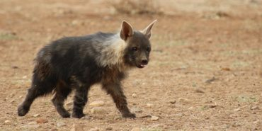 Carnivore hyena conservation work in Namibia
