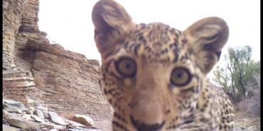Leopard on camera trap in Namibia