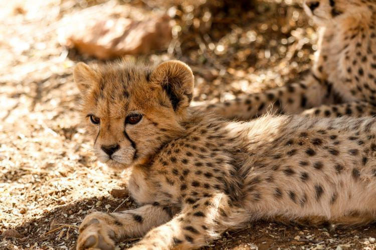 Taking care of orphaned cheetah cubs in Namibia