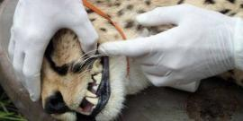 Cheetah conservation in Namibia fitted with tracking collar