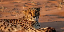 Cheetah conservation in Namib Desert