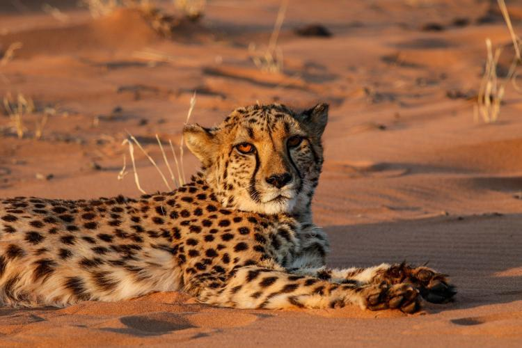 Cheetah conservation in Namib Desert