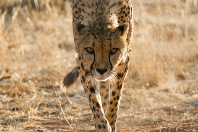 Volunteers working with cheetah conservation in Namibia