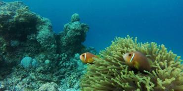 Clownfish in the Maldives
