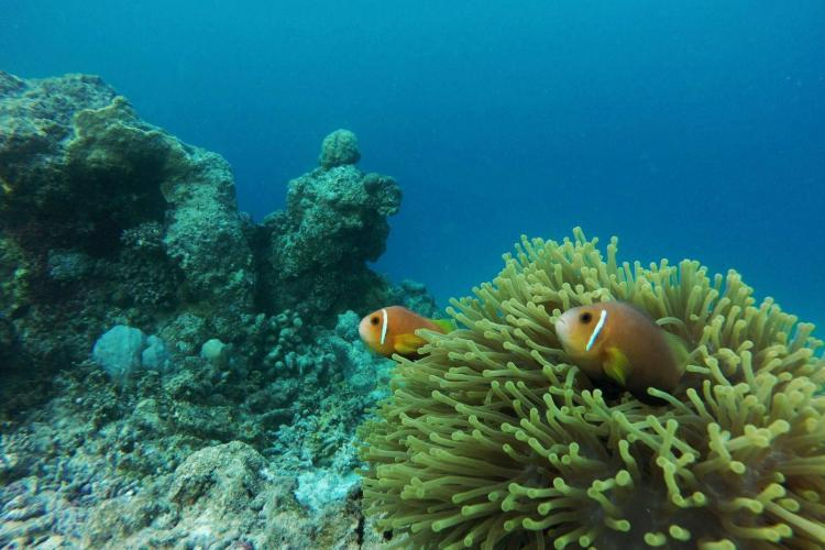 Clownfish in the Maldives