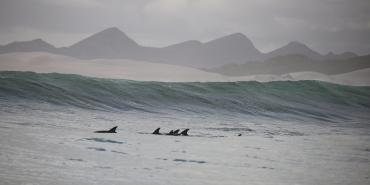 Dolphins surfing the waves in Namibia