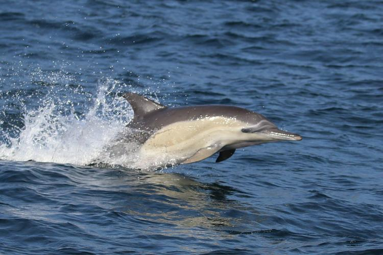 Common dolphin research in South Africa