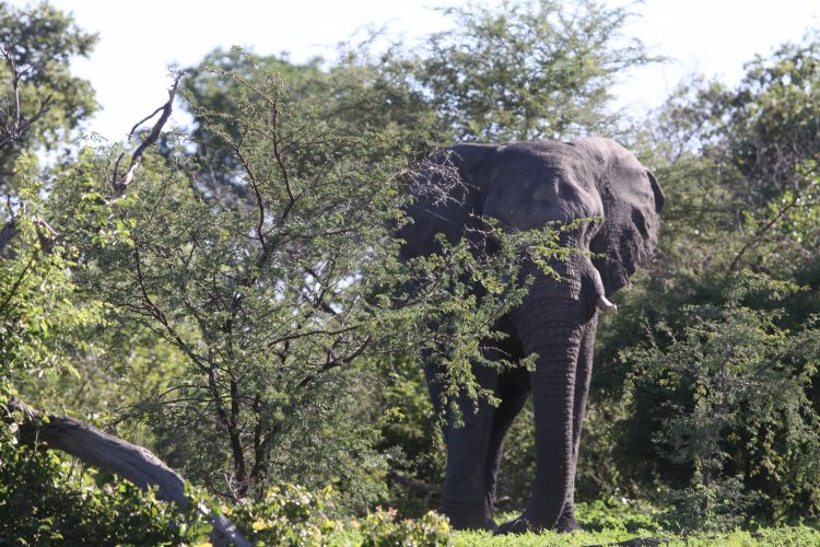 Elephant and trees in Mangetti in Namibia