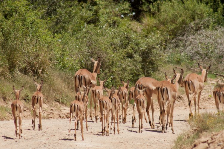Group of impalas in Shamwari