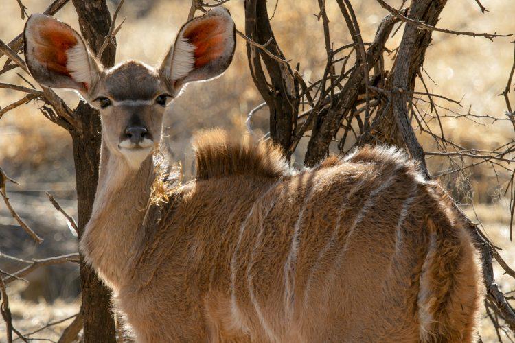 Female kudu injured at the Wildlife Sanctuary