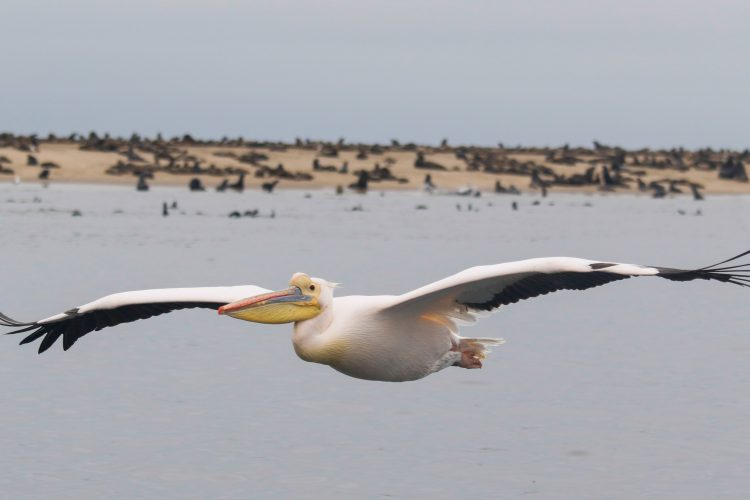 Pelican flying in with seal colony in background