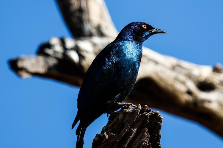 Glossy starling in Namibia