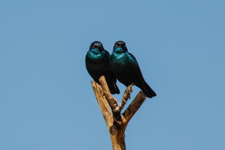 Two glossy starlings in Namibia