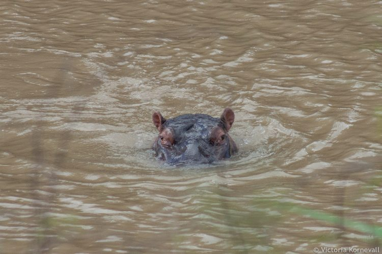 Hippo sticking head out of water in South Africa