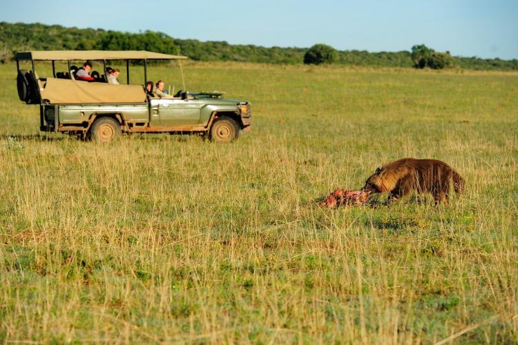 Hyena eating carcass infront of volunteers in jeep