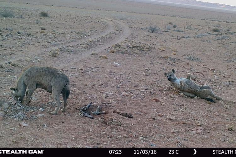Hyenas caught on camera trap in Namibia