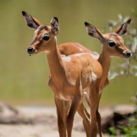 Baby impala close up Africa