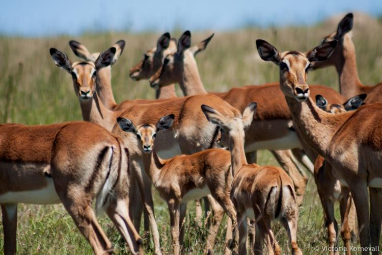 Herd of impala looking at us in Africa