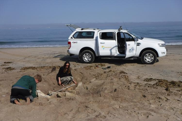Interns measuring whale bones on the beach in Cape Town