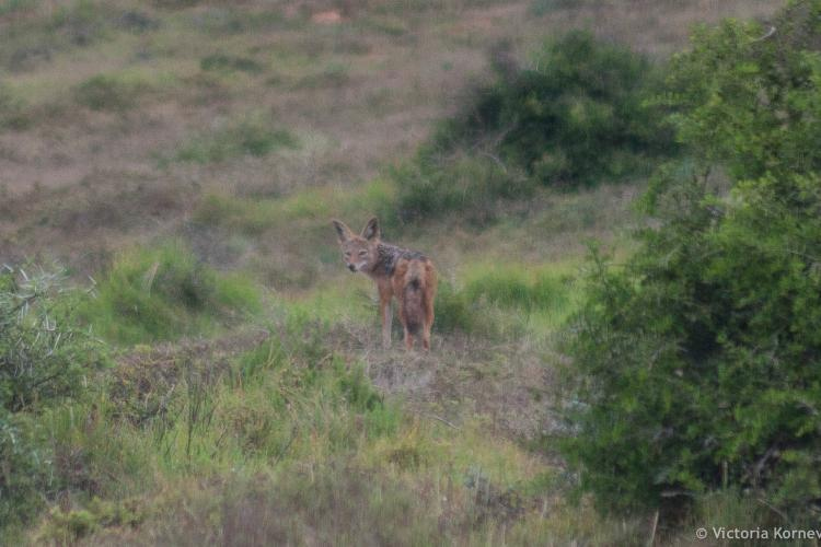 Black backed jackal at Shamwari