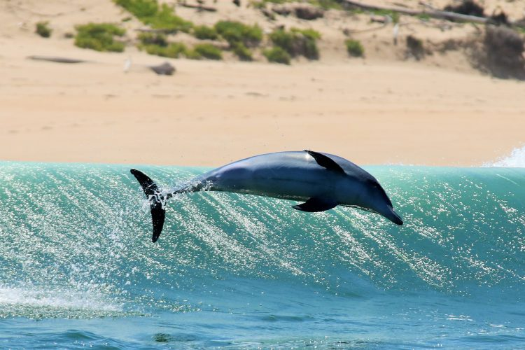 Dolphins jumping the waves in Plettenberg Bay