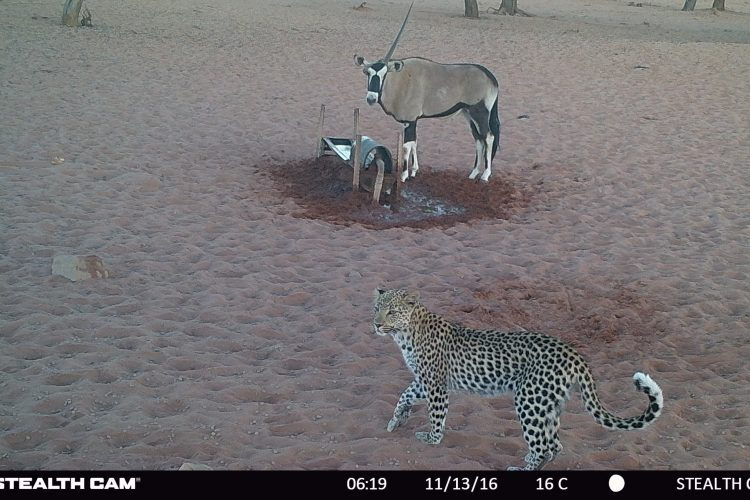 Leopard and oryx on camera trap in Namibia