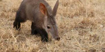 Baby anteater at Wildlife Sanctuary in Namibia
